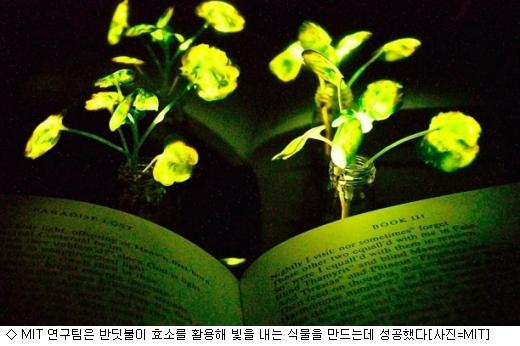 반딧불이 식물 성공…가로등 대체할까?